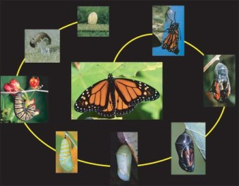 butterfly_lifecycle-c